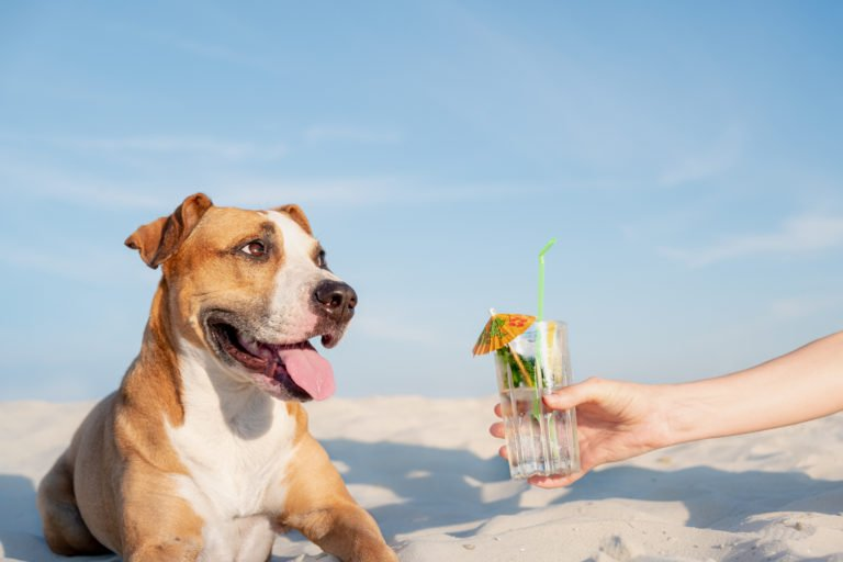 Dog laying on beach looking at a glass of water