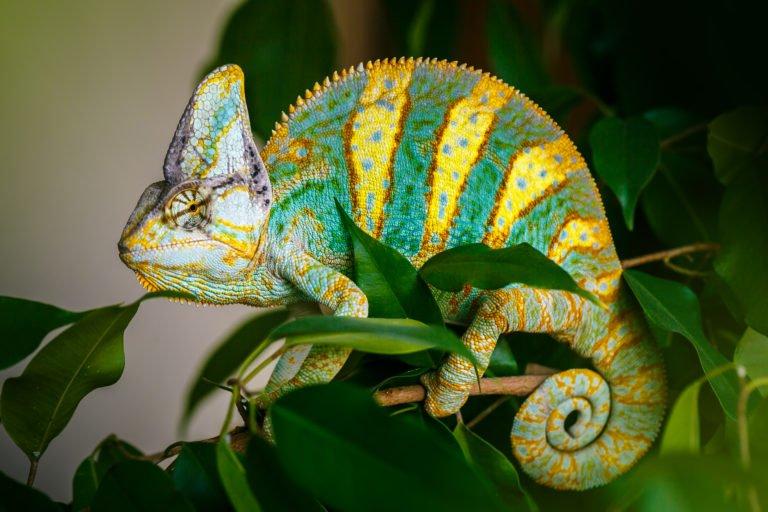 chameleon in a chameleon cage