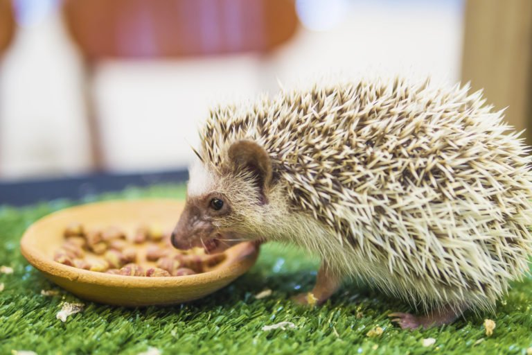 hedgehog eating food for hedgehogs