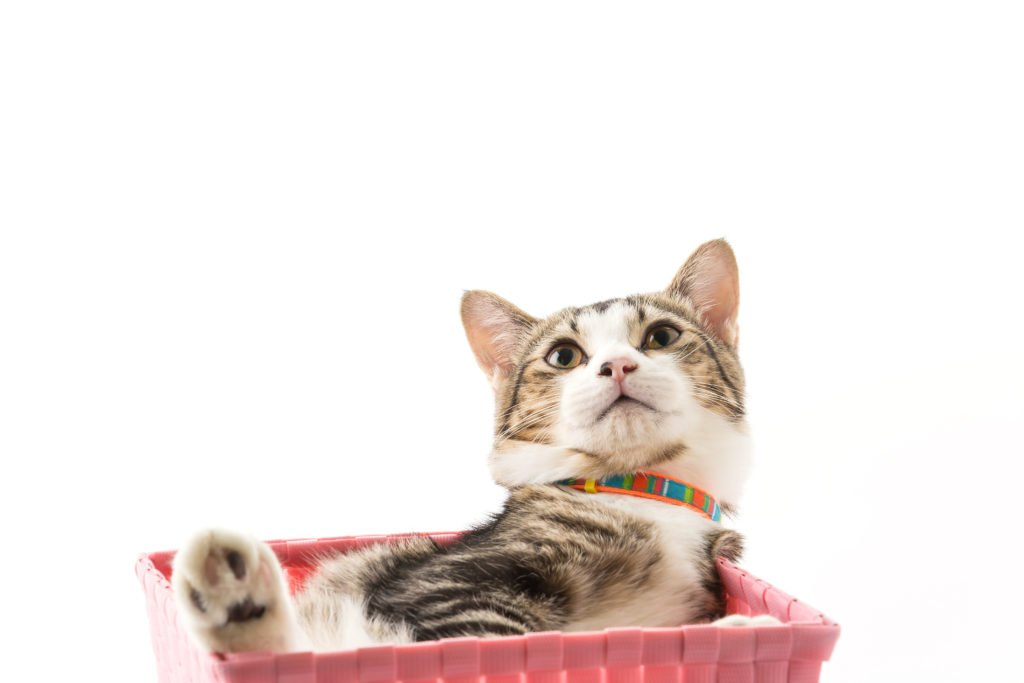 cat in a basket stroller