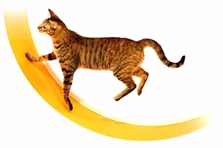 Cat in Exercise Wheel Running