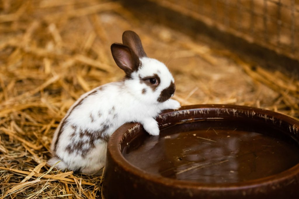 rabbit drinking water