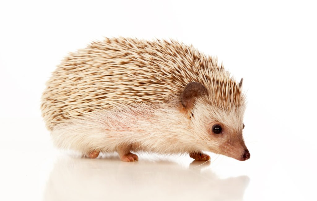Hedgehog walking in cage